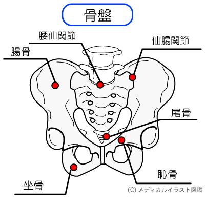 骨盤の説明図